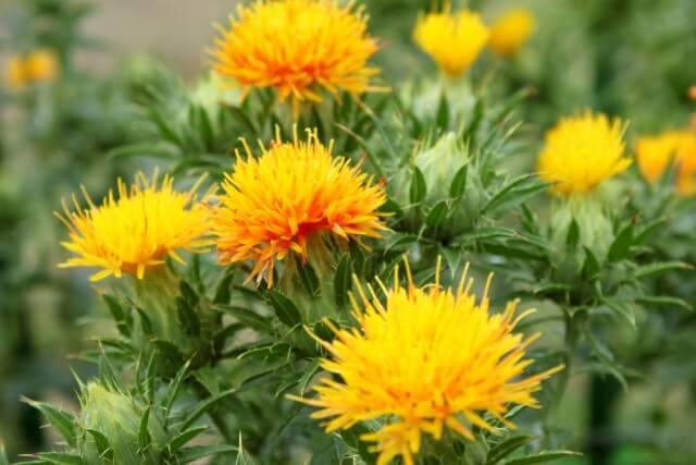 山形県花 紅花