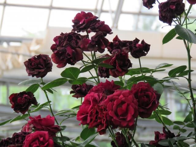 黒赤のバラ